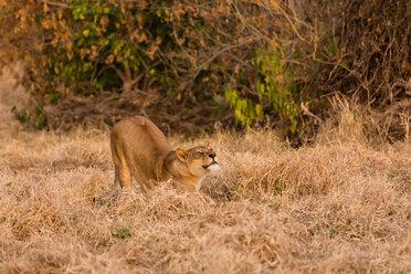 Botswana, Tuli Block, stretching lioness - SRF00877