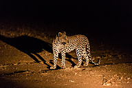Botswana, Tuli Block, leopard at night - SRF00883