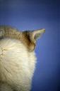 Ear of a Siberian Husky - DSGF01560