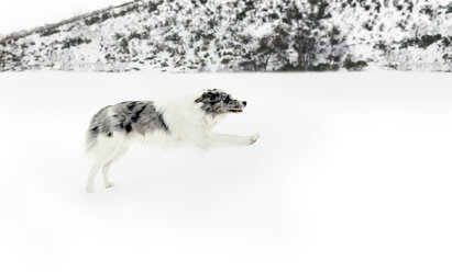 Dog running and jumping in the snow - MGOF03030