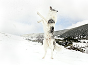 Dog running and jumping in the snow - MGOF03054