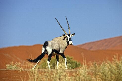 Namibia, Gemsbok in typical desert habitat - DSGF01579