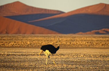 Namibia, Etosha National Park, wild male ostrich walking on plains - DSGF01582