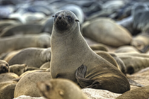 Namibia, Swakopmund, Namib desert, colony of Cape Fur Seal by the sea - DSGF01585