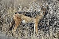 Namibia, Etosha National Park, Black-backed Jackal - DSGF01588