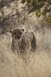 Namibia, portrait of a cheetah - DSGF01591