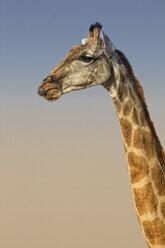 Portrait of a giraffe - DSGF01594
