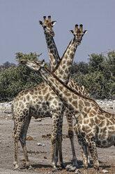 Namibia, Etosha National Park, three giraffes - DSGF01597