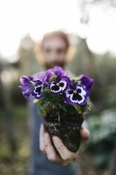 Pansies in gardener's hand - JRFF01269