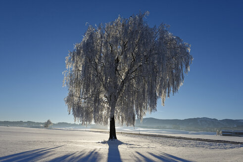 Germany, Bavaria, Pfaffenwinkel, frost at a tree near Steingaden - LBF01584