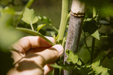 Pinching out the lateral shoots of a tomato plant - AIF00426