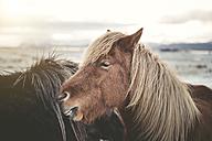 Iceland, two Icelandic horses - EPF00400
