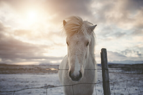 Iceland, Icelandic horse at sunset - EPF00403