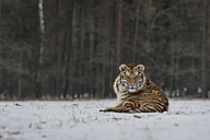 Young Siberian tiger lying in snow - PAF01767