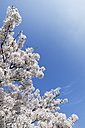 Blossoming cherry tree - GWF05054
