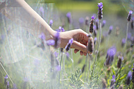 Female hand over lavender in field - ZEF13238