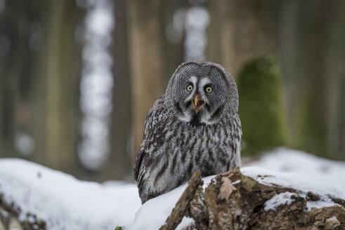 Czechia, Great grey owl, Strix nebulosa in forest - PAF01776