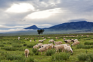 Mongolia, flock of sheep grazing in the early morning - DSGF01635