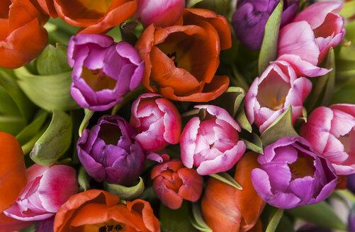 Tulips - TCF05361