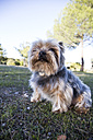 Yorkshire Terrier sitting on meadow looking up - ABZF01945