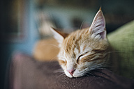 Portrait of tabby cat sleeping on the backrest of a couch - RAEF01800