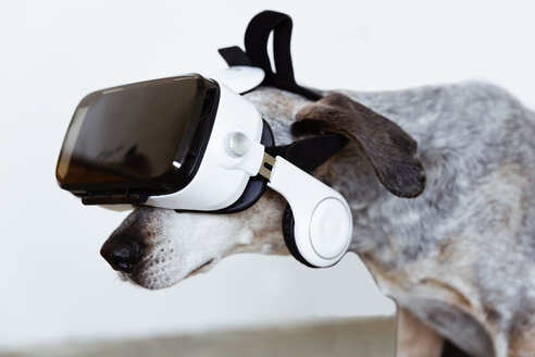 Mongrel wearing Virtual Reality Glasses - REAF00225