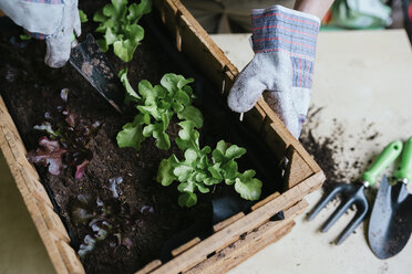 Person planting lettuce in a wooden box - GEMF01572
