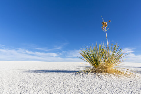 USA, New Mexico, Chihuahua Desert, White Sands National Monument, soap tree on desert dune - FOF09208