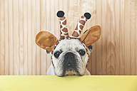 Portrait of French bulldog with giraffe headband - RTBF00809