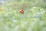 Free range chicken on a meadow - SKCF00282