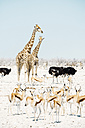 Namibia, Etosha National Park, two giraffes, ostriches, springboks and zebras - GEMF01584