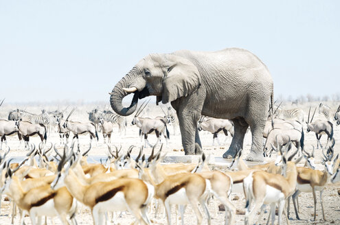 Namibia, Etosha National Park, elephant surrounded by Springboks, Oryx and Zebras - GEMF01587