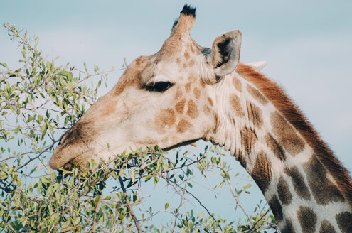 Namibia, Etosha National Park, eating giraffe - GEMF01590