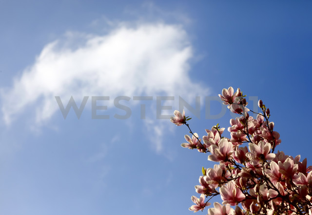 Pink Magnolia in front of sky - JTF00805