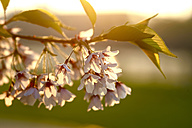 Twig of blossoming tree at backlight, close-up - JTF00806