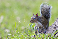 Grey squirrel - FOF09254