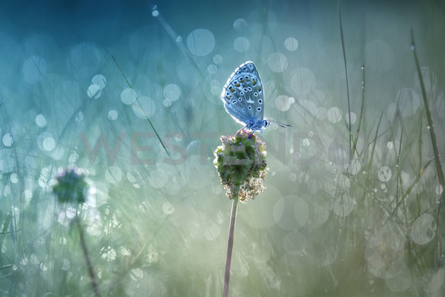 Common blue on blossom bud at backlight - BSTF00107 - Brigitte Stehle/Westend61