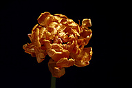 Withered tulip in front of black background - JTF00808