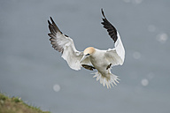 Flying northern gannet with grass in beak - MJOF01366