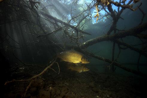 Austria, Carinthia, Common carp in Weissensee - GNF01384