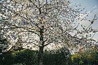 Blossoming cherry tree - MFF03503