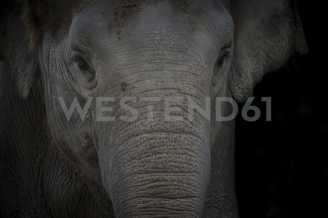 Portrait of Asian Elephant in front of black background - MMAF00100