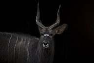 Portrait of Nyala in front of black background - MMAF00103