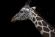 Reticulated giraffe in front of black background - MMAF00109