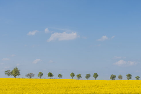 Row of trees with blossoming rape field in the foreground - KEBF00556
