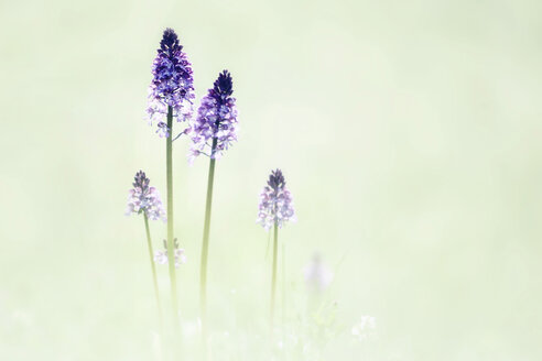 Military orchids in a field - BSTF00112