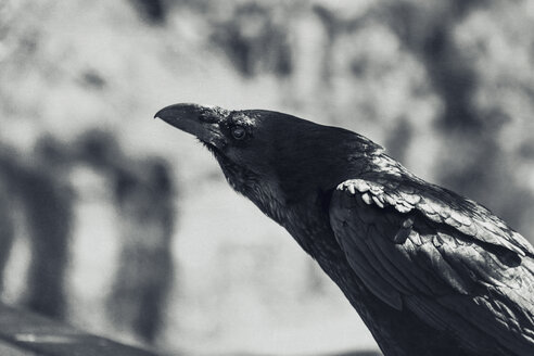 Portrait of a raven - DWIF00854