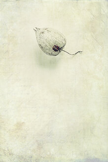 Wilted Physalis - DWIF00857