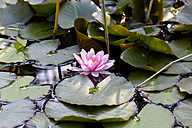 Water lily in pond - NDF00649
