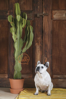 Portrait of French bulldog - RTBF00899
